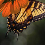 Tiger Swallowtail - 2 Poster