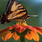 Tiger Swallowtail - 3 Poster
