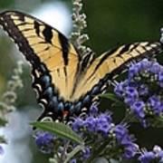Tiger Swallowtail 3 Poster