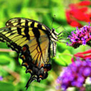 Tiger Swallowtail Butterfly Poster