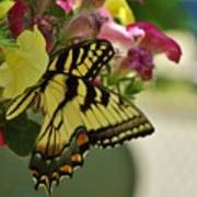 Tiger Swallowtail Butterfly On Begonia Bloom         June            Indiana Poster