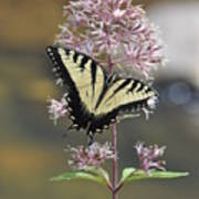 Tiger Swallowtail Butterfly On Common Milkweed 2 Poster