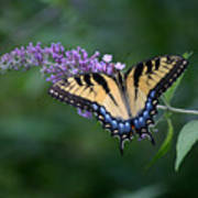 Tiger Swallowtail Female On Butterfly Bush Flowers Poster