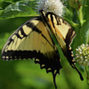 Tiger Swallowtail On Button Bush Poster