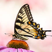Tiger Swallowtail On Coneflower Poster