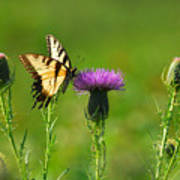 Tiger Swallowtail On Thistle Poster