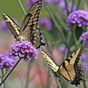 Tiger Swallowtails Poster