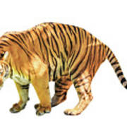 Tiger White Background Poster