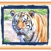 Tiger With Border Poster