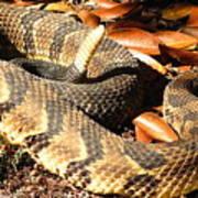 Timber Rattlesnake Horizontal Poster