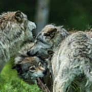 Timber Wolf Picture - Tw70 Poster