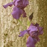 Timeless Iris  Poster