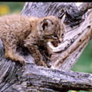 Tiny Bobcat Kitten Poster
