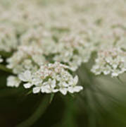 Tiny Cluster Of Queen Anne's Lace Poster