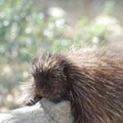 Tired Porcupine On A Fallen Log Poster