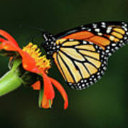 Tithonia Loving Monarch Poster