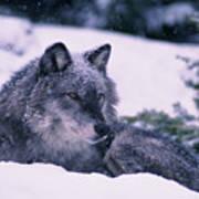 T.kitchin, 19552c Gray Wolf, Winter Poster