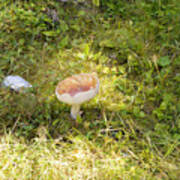 Toadstool Grows On A Forest Floor. Poster