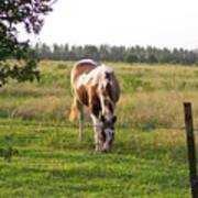 Tobiano Horse In Field Poster