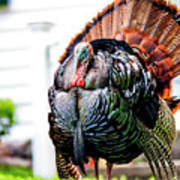 Male Turkey Poster