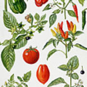 Tomatoes And Related Vegetables Poster by Elizabeth Rice