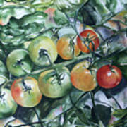 Tomatoes In Dad's Garden Poster