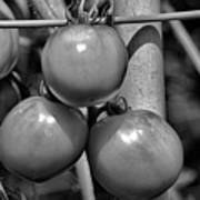 Tomatoes On The Vine Bw Poster