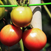 Tomatoes Ripening On The Vine Poster
