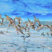 Topsail Skimmers Poster