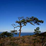 Torrey Pines Tree Poster