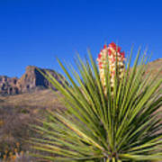 Torrey Yucca Poster