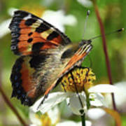 Tortoise Butterfly Poster
