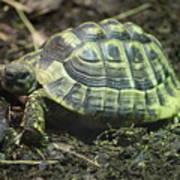 Tortoise Photobomb Poster