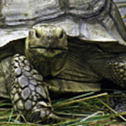 Tortoise's Stare Poster