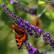 Tortoiseshell Butterfly On Lavender Poster