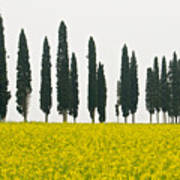 Toscana Cypresses Poster