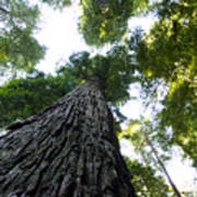 Towering California Redwood Trees Poster