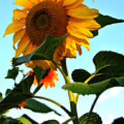 Towering Sunflower Poster
