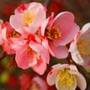 Toyo-nishiki Quince Blooms Poster