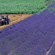 Tractor In A Lavender Field Poster