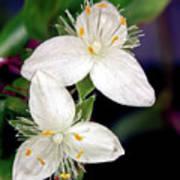 Tradescantia Flower Poster