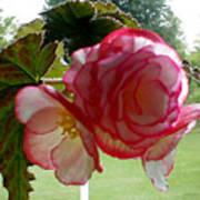 Translucent Begonia Poster