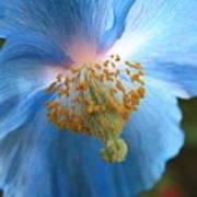 Translucent Blue Poppy Poster by Carol Groenen