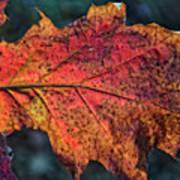 Translucent Red Oak Leaf Study Poster