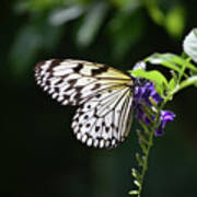Translucent Wings On A Rice Paper Butterfly Poster