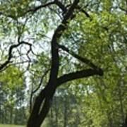 Tree Dali Poster