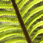 Tree Fern Frond Poster