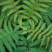 Tree Fern Fronds Poster