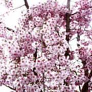 Tree Flowering In Spring Poster