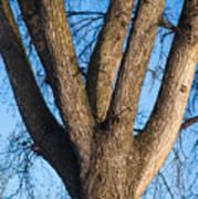 Tree Fork Poster